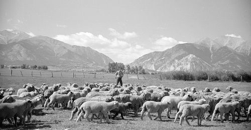 Flock of sheep, Chaffee County, Colorado  Photo: Arthur Rothstein