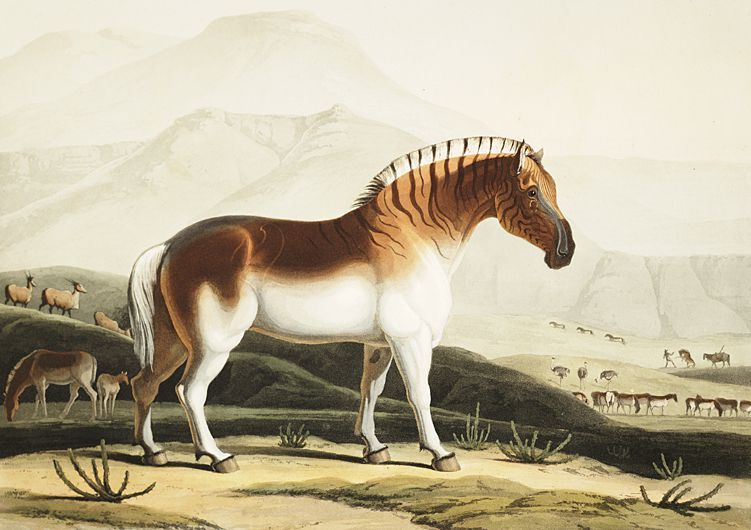 The Quahkah (Quagga) Aquatint by Samuel Daniell (1775-1811) from the Series African scenery and animals.