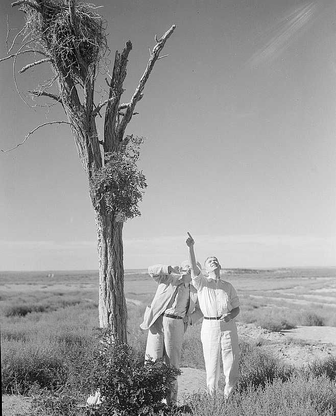 Inspecting a nest of barbed wire in Texas Dust Bowl 1936 Photo: Arthur Rothstein