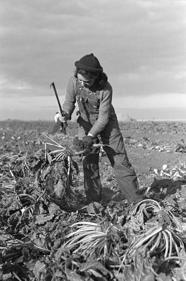 Young girl working in beet fields near Fisher, Montana Photo: Russell Lee