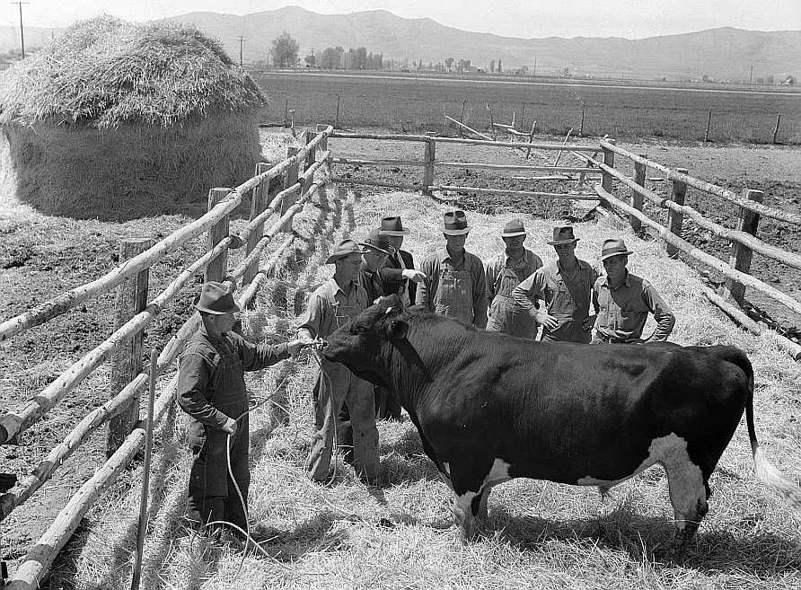 Box Elder, Utah farmers inspecting their prized Holstein bull.  Photo: Albee