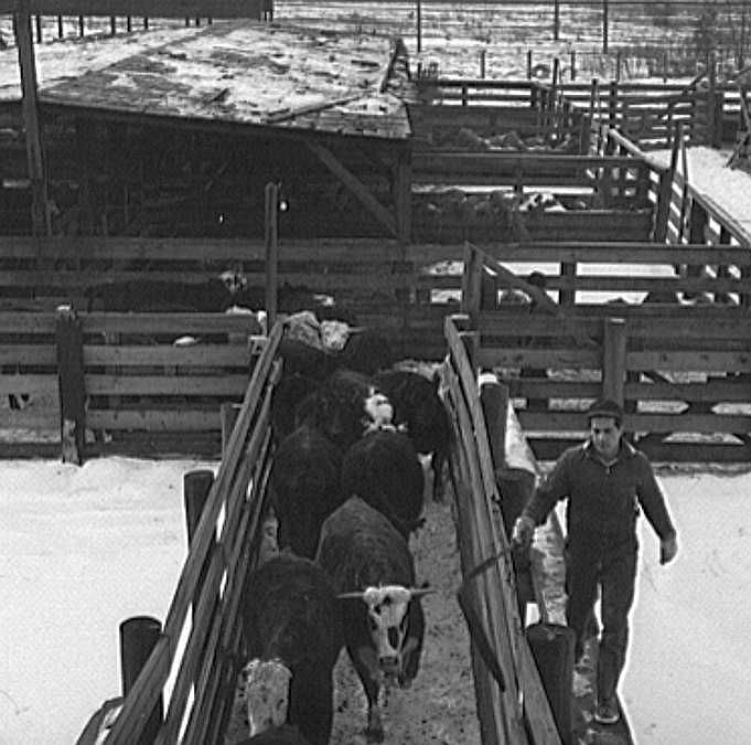 Calumet Park stockyards, for feeding, quartering and resting stock that is in transit through Chicago        Photo: Jack Delano