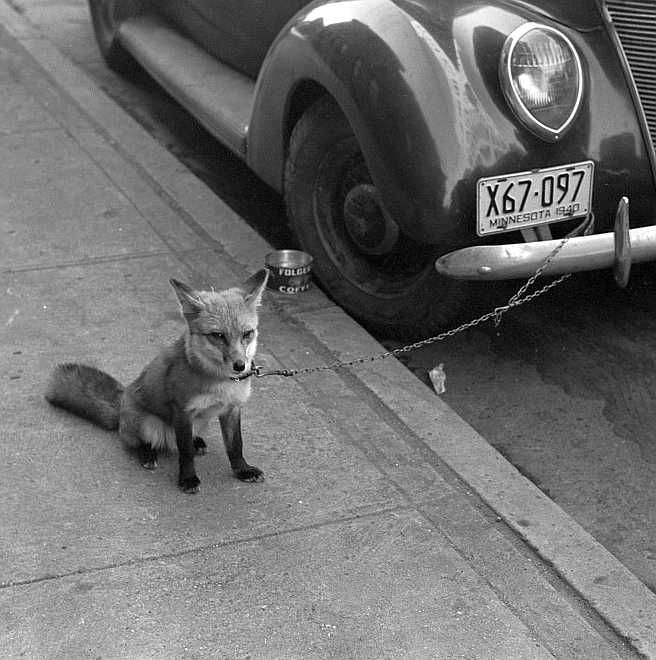 Fox chained to automobile, Moorehead, Minnesota Photo: John Vachon
