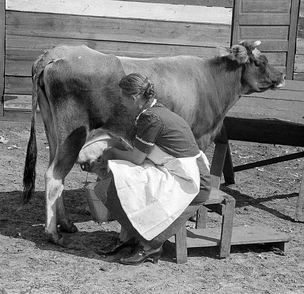 FSA (Farm Security Administration) borrower, Coffee County, Alabama, milks cow. She sells eight to ten pounds of butter each week. Photo: Marion Post Wolcott