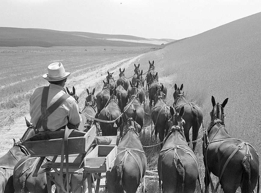 Walla Walla County, Washington. Farmer and the mules which pull the combine through the wheat fields  Photo: Russell Lee