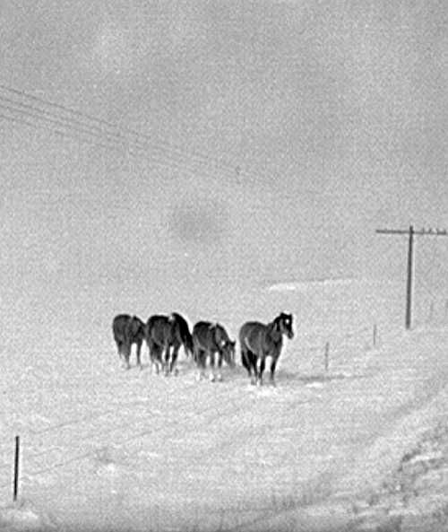 Horses in snowstorm, Lyman, South Dakota  Photo: John Vachon.