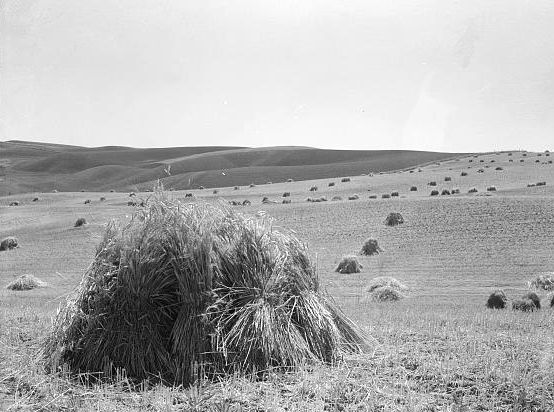 Wheat field near Walla Walla, Washington Photo: Arthur Rothstein
